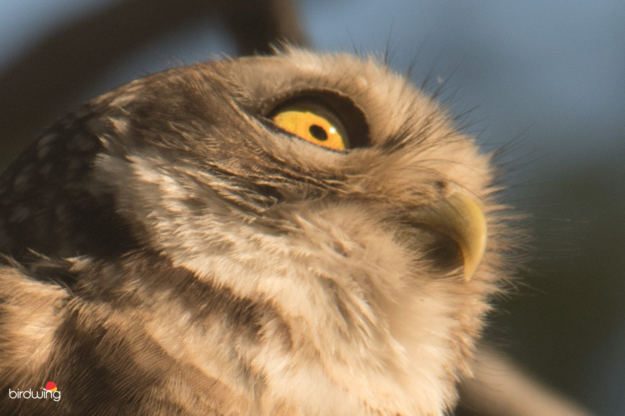 spotted-owlet-cropped-image