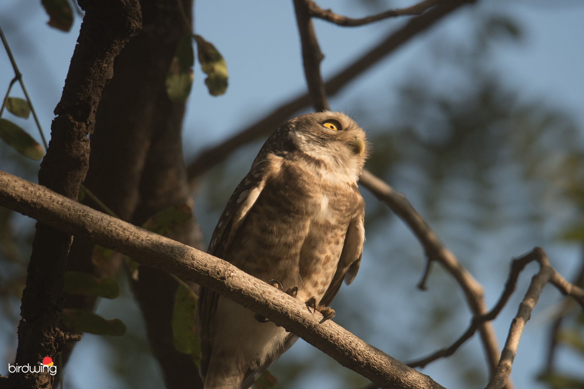 spotted-owlet-full-image