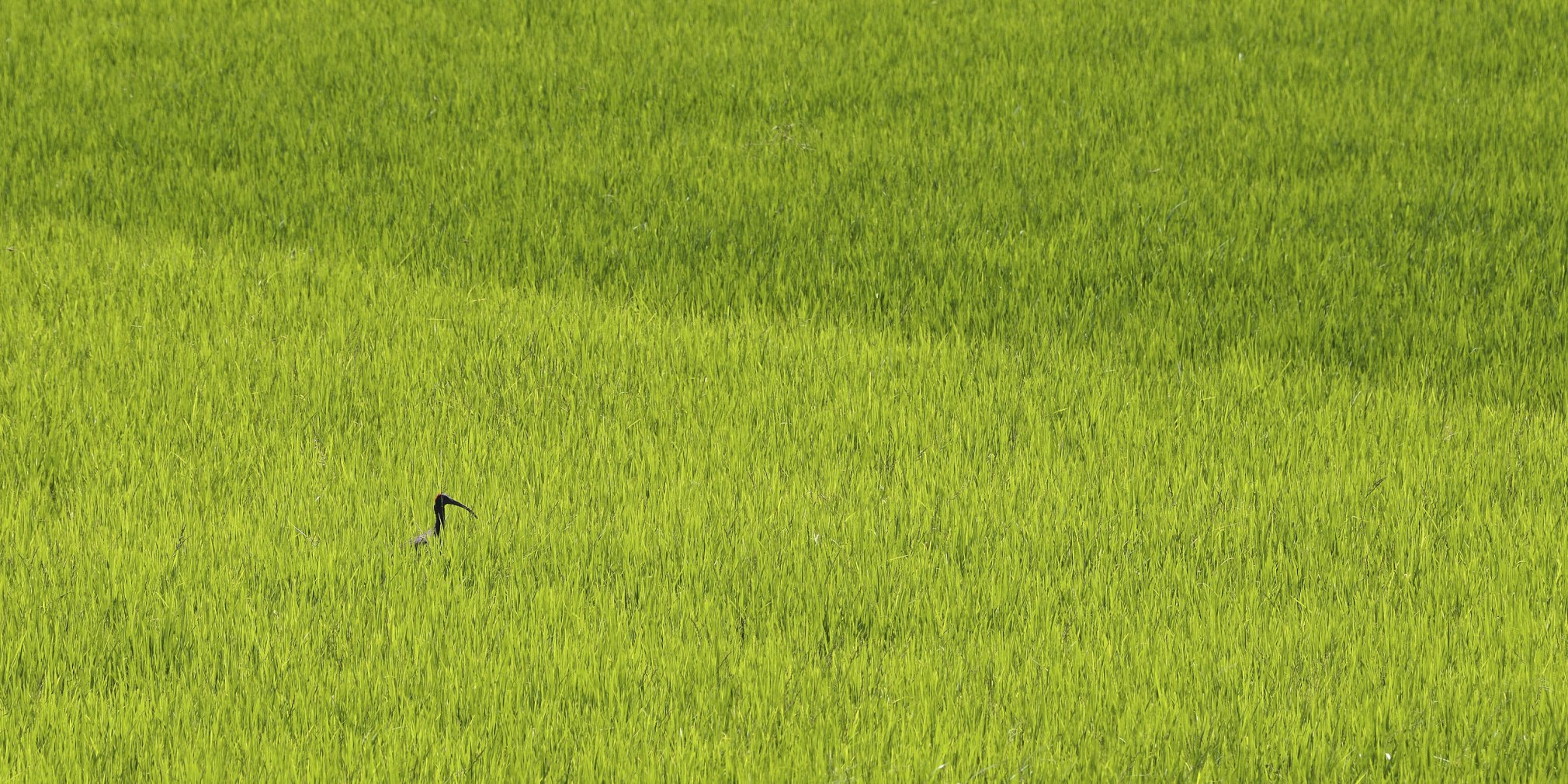 Red-naped-ibis-scape-header