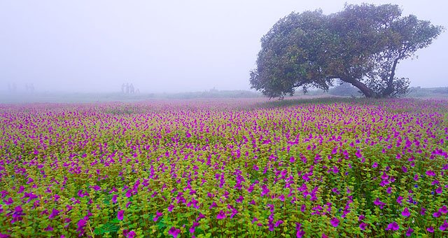 Kaas valley of flowers in Maharastra