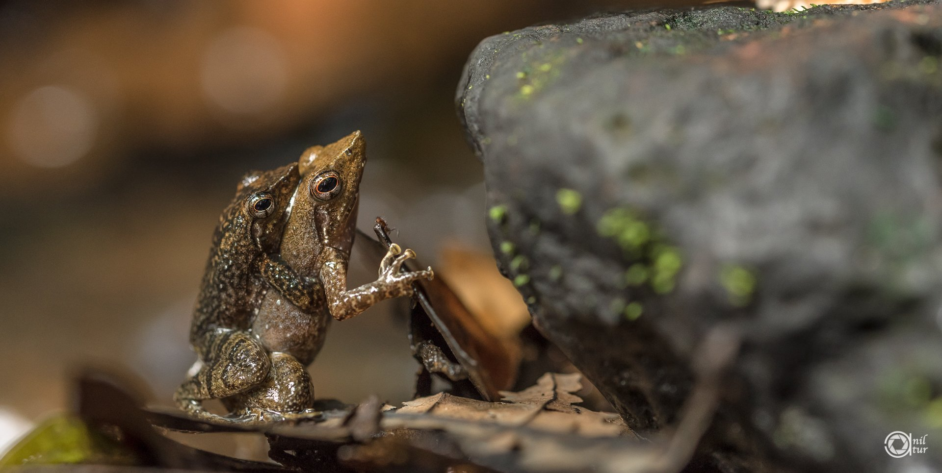 Dancing-frogs-amplexus-agumbe-anil